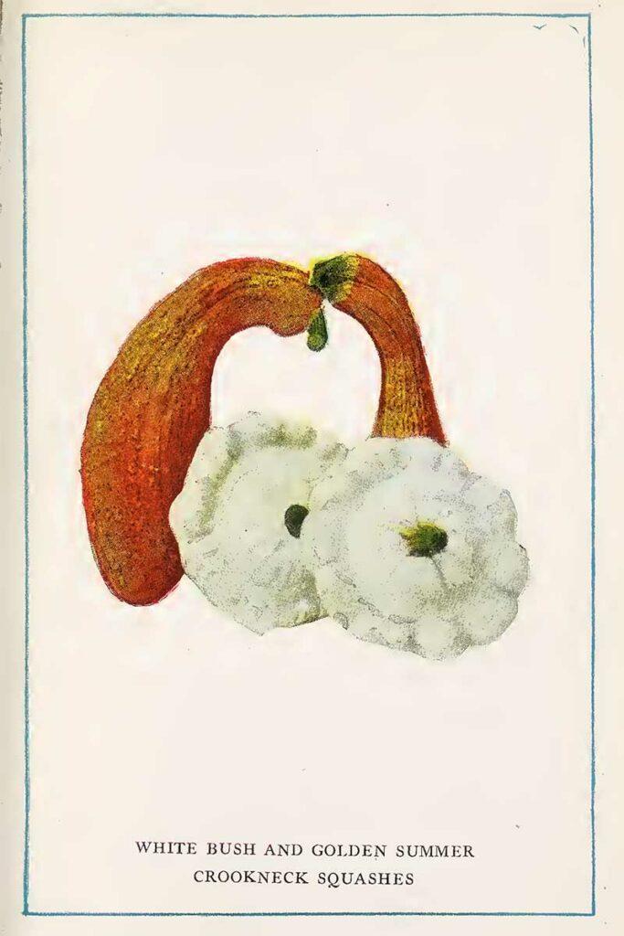 squash vintage vegetable prints
