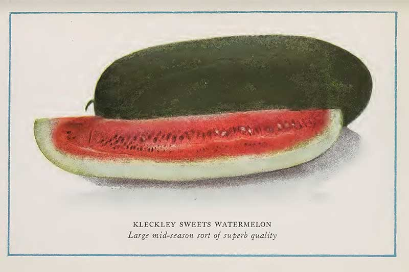 Watermelon vintage drawing