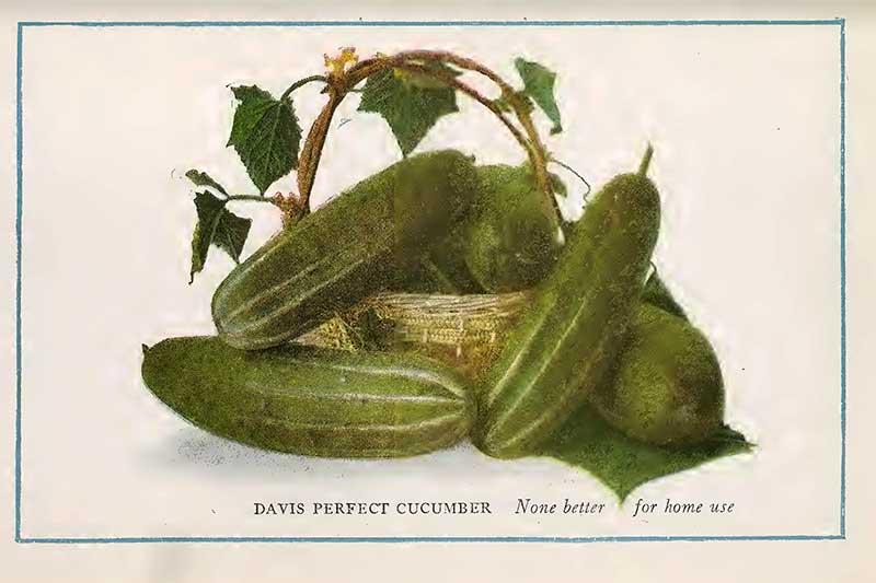 Cucumber painting