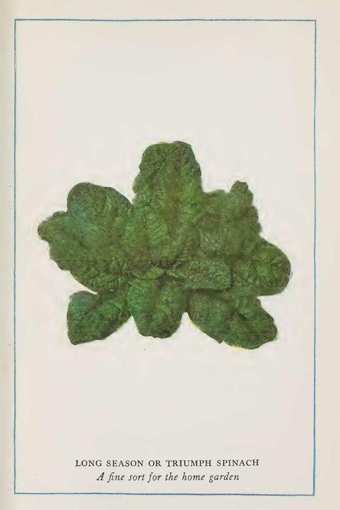 Spinach vintage print