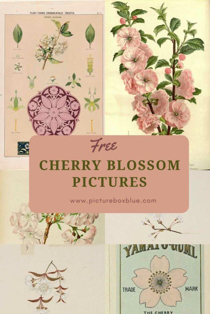 free cherry blossom drawings
