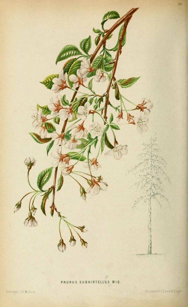Neerland's_Plantentuin_winter flowering cherry blossom