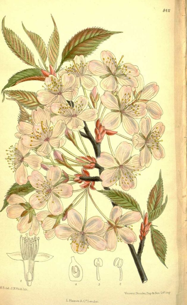 Prunus_sargentii_Sargents Cherry