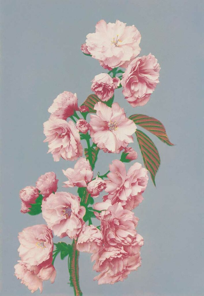 Beautiful photomechanical prints of Cherry Blossom